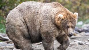 """""""Jest gruba, jest cudowna"""". Niedźwiedzica podbiła serca internautów"""