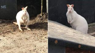 W Bielsku-Białej skradziono dwa białe kangury