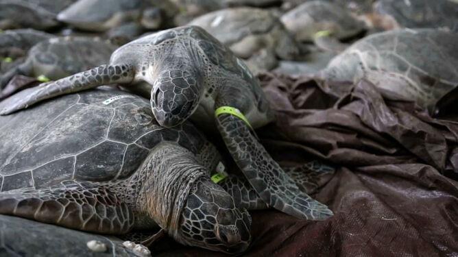Mróz zaszokował żółwie morskie