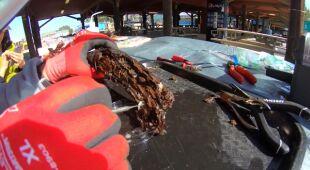 """Pobranie """"robaków okrętowych"""" z drzewa (Brian Helmuth/NOAA)"""